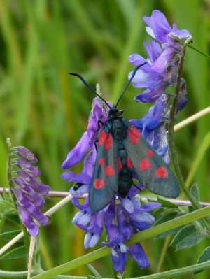 Narrow-bordered/five-spot burnet moth?