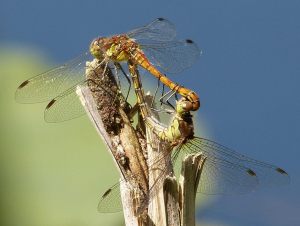 Common darter pair