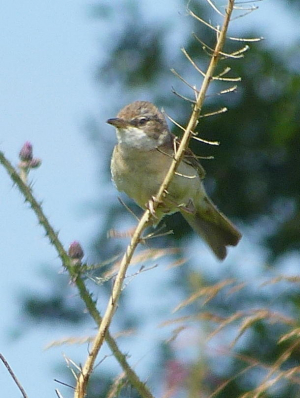 Whitethroat?