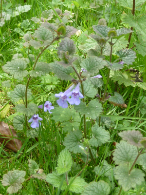 Ground-ivy?