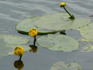 Yellow Water Lily?