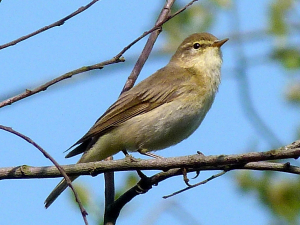 Phylloscopus trochilus - Willow Warbler 3