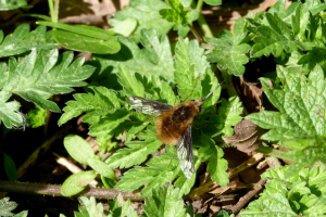 Bombylius major - Bee Fly