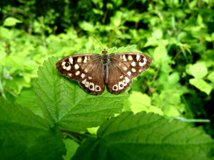 Pararge Aegeria - Speckled Wood 2
