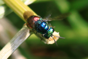 Jewel Wasp (allegedly)