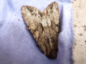 Light grey moth
