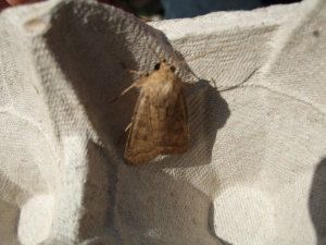 Small brown moth in trap