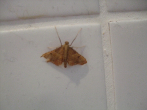 small brown moth
