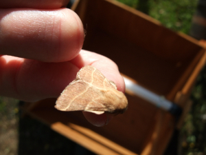 light brown moth with 2 lines