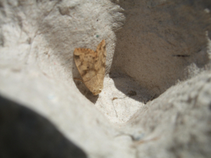 Brown moth in trap