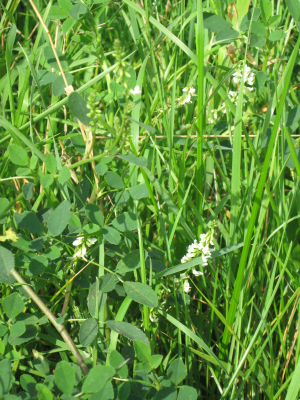 Plant with white flowers in marshland