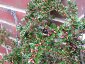 Tree bee on Cotoneaster
