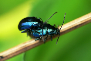 Small blue leaf beetle