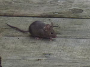 Wood Mouse?