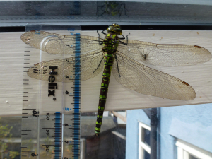Large Green Dragonfly
