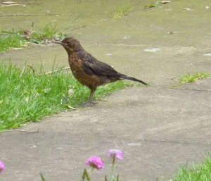 ?? young blackbird
