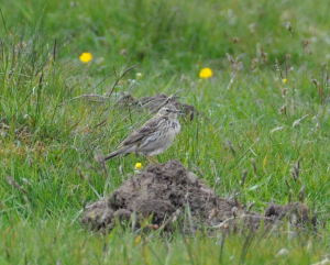 pipit, but what kind?