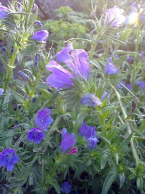 Vipers Bugloss