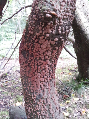 coral on dying beech