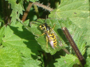 Activity 5, Area One, Common wasp