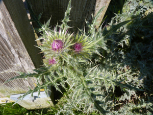 Thistle at Collard Hill