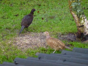 Dark & Light Pheasants?