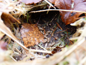 Field Vole Burrow and Droppings