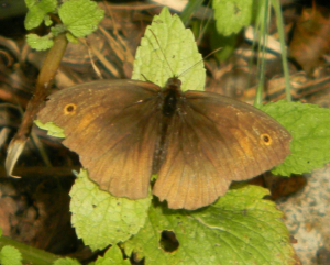 Meadow Brown maybe?