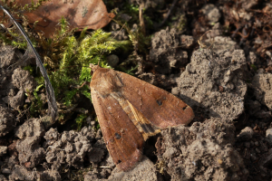 Poss broad bordered yellow underwing