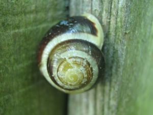 banded white lipped snail