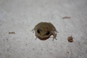 frog in saint lucia