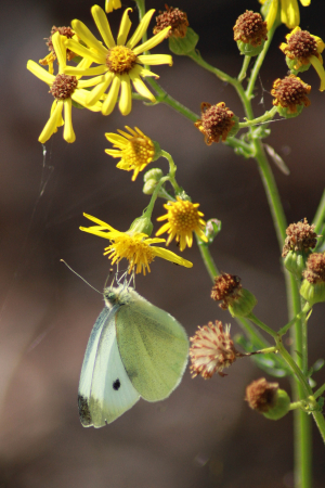 Cabbage White?