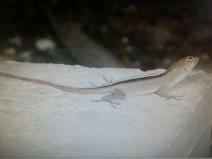 lizard in jamaica