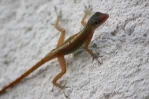 Another Anolis Lizard in St Lucia?