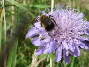 Bee and beetle on scabious