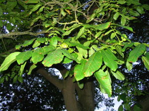 Walnut tree IMG_0316