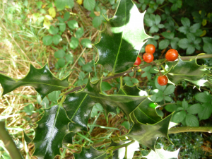 Holly with berries in Kent