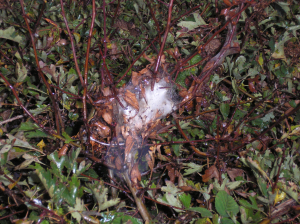 Moth larval tents on hedge