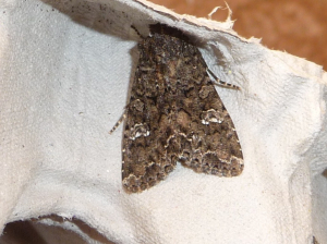 Moths 14th May 2012 014