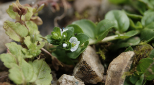 Thyme leaved speedwell DSC00093