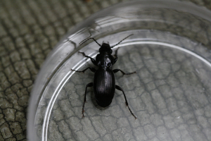 Ground beetle_MG_0277