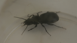 ground beetle DSC00220