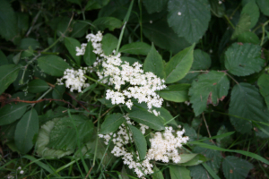 elderflower IMG_1010