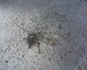 Unidentified large bug