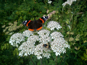 Visitors to Giant Hogweed (2)