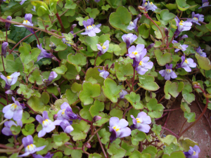 ivy-leaved toadflax?