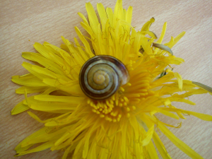 unidentified stripy snail