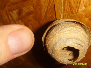 empty insect nest