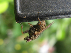 Muscid fly at RHS Wisley
