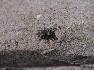 Jumping spider on a sunny wall
